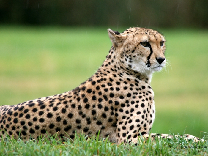 cheetahs1 Is Cheetah Going to Be Extinct & Disappear from Our Life?
