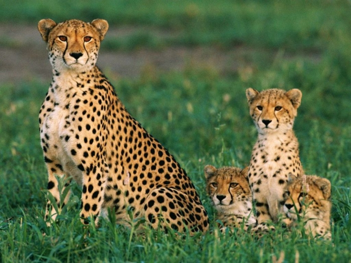 cheetahs_234_990x742 Is Cheetah Going to Be Extinct & Disappear from Our Life?