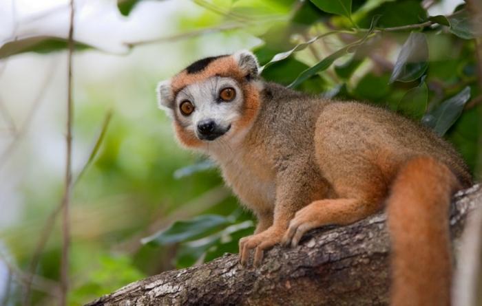 crowned_lemur2 Are Lemurs Ghosts, Monkeys Or Just Strange Creatures?
