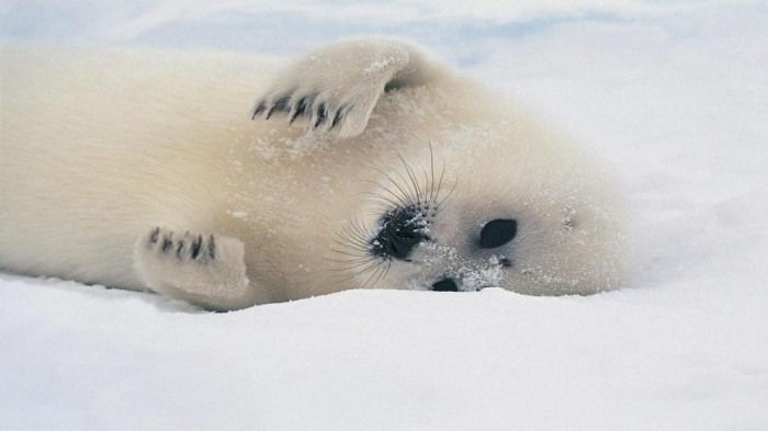 """cute-sea-lion1366x76852676 Is It """"Sea Lions Or Sea Bears"""" You Have to Decide"""