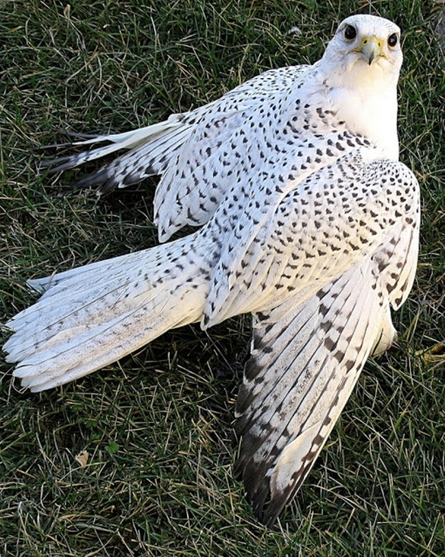d9b763c00b43bbd066848645a056e5a7 Rare White Falcons You Have Never Seen Before