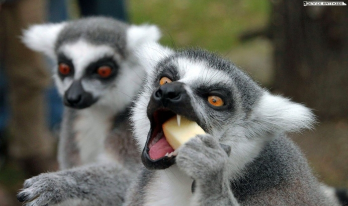 eating_lemur_by_eisenmann87-d2n6r5v Are Lemurs Ghosts, Monkeys Or Just Strange Creatures?