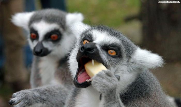 eating_lemur_by_eisenmann87-d2n6r5v Are Lemurs Ghosts, Monkeys Or Just Strange Creatures?