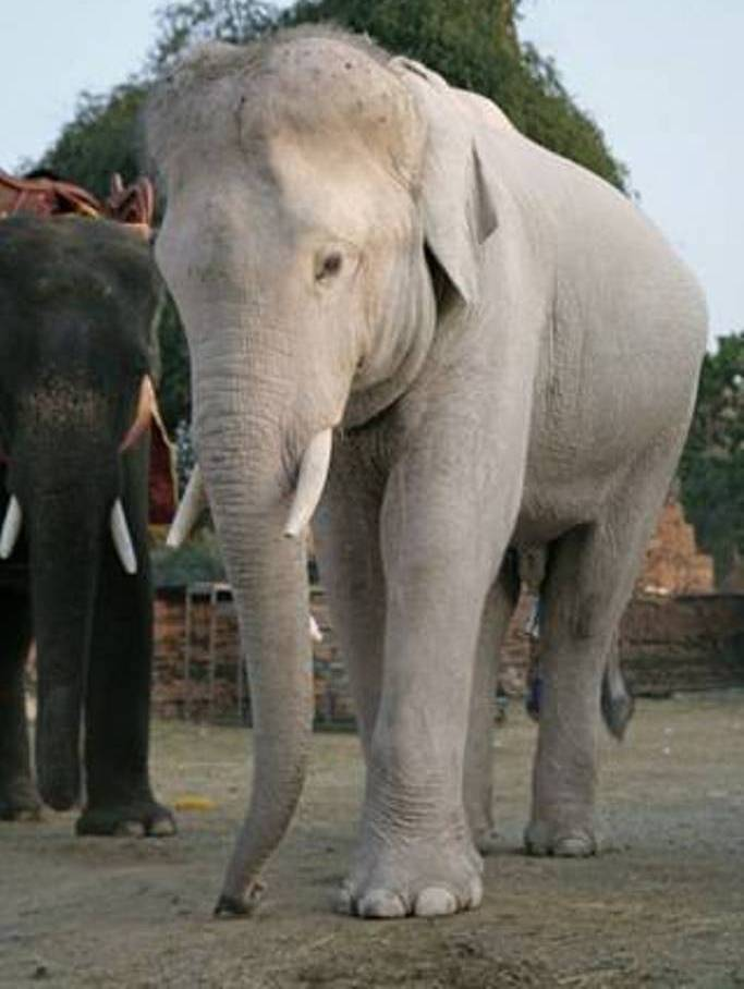 elefante-biacno The White Elephant Is Not a Legend