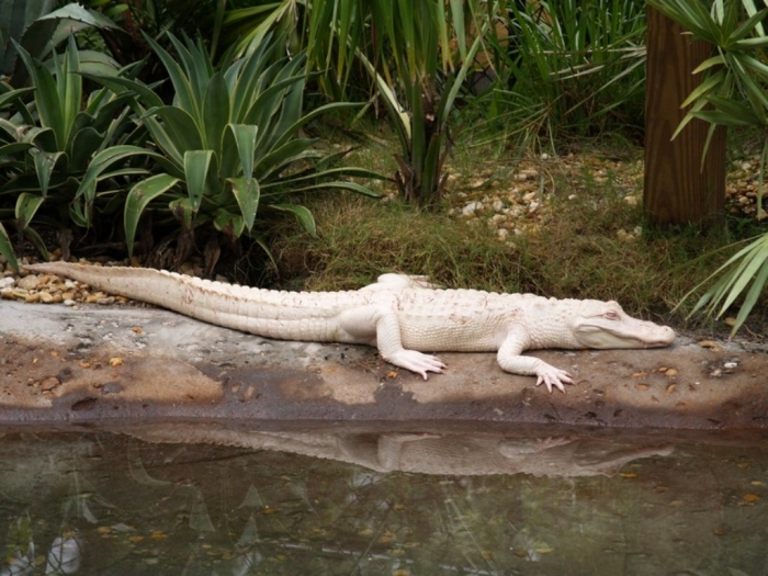 fh125151 Do White Alligators Really Exist on Earth?