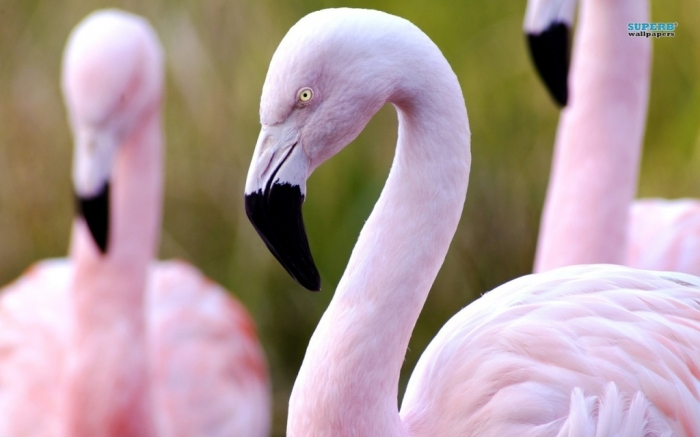 "flamingos-8858-1280x800 Strange Facts about the Most Beautiful Bird on Earth ""Flamingo"""