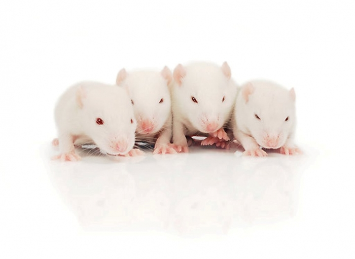 flat550x550075f.u2 Why Are the White Rats Extremely Important?