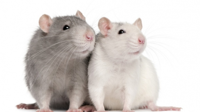 foto-rats-744x420 Why Are the White Rats Extremely Important?