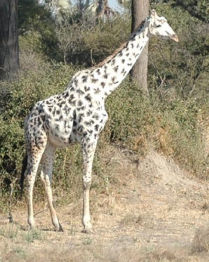 giraffe-tall Rare White Giraffes Spotted in Different Areas
