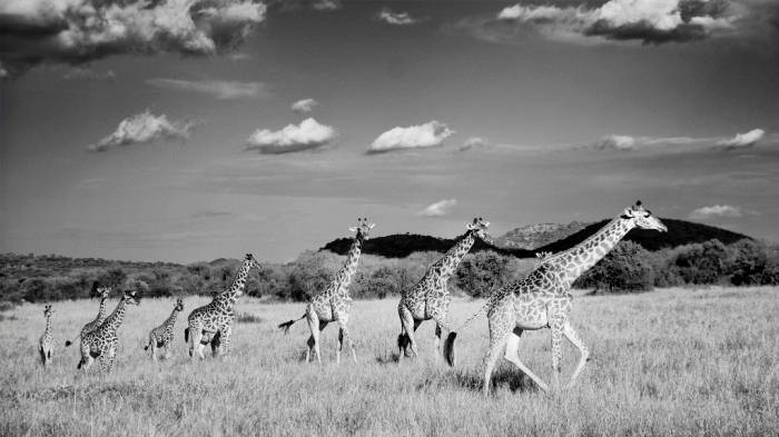 giraffe-wallpaper-black-and-white-3 Rare White Giraffes Spotted in Different Areas