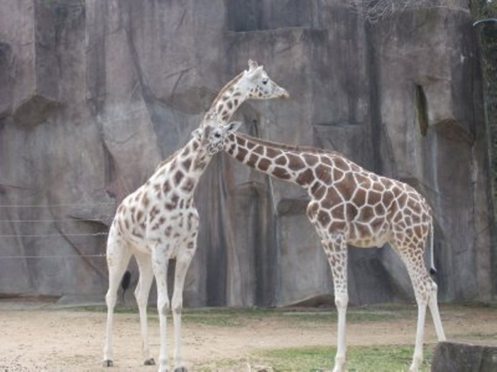 giraffe Rare White Giraffes Spotted in Different Areas