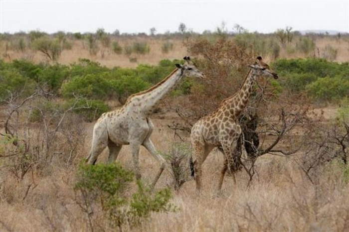 giraffe_leucistic@large Rare White Giraffes Spotted in Different Areas