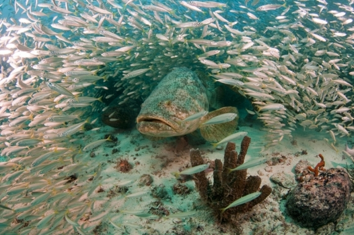 grouper-comeback-success-story_710 Is The Atlantic Goliath Grouper Endangered?