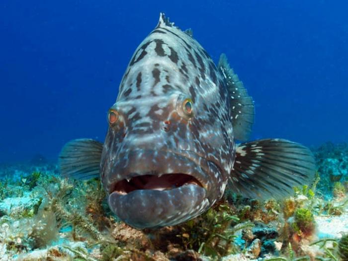 grouper Is The Atlantic Goliath Grouper Endangered?