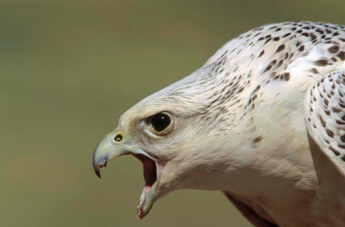 gyrfalcon-falco-rusticolus-adult-female-konrad-wothe Rare White Falcons You Have Never Seen Before
