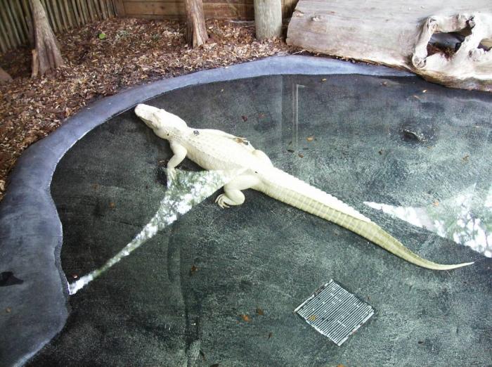 hpim3497-49535 Do White Alligators Really Exist on Earth?