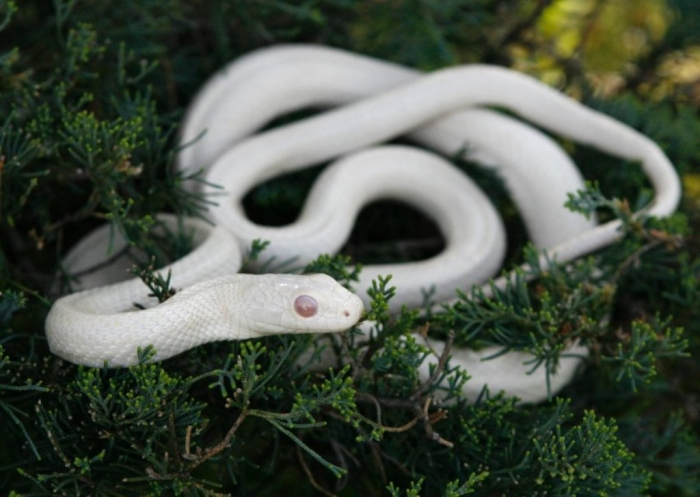 image-413281-galleryV9-vmvg Is the White Snake Just a Legend?