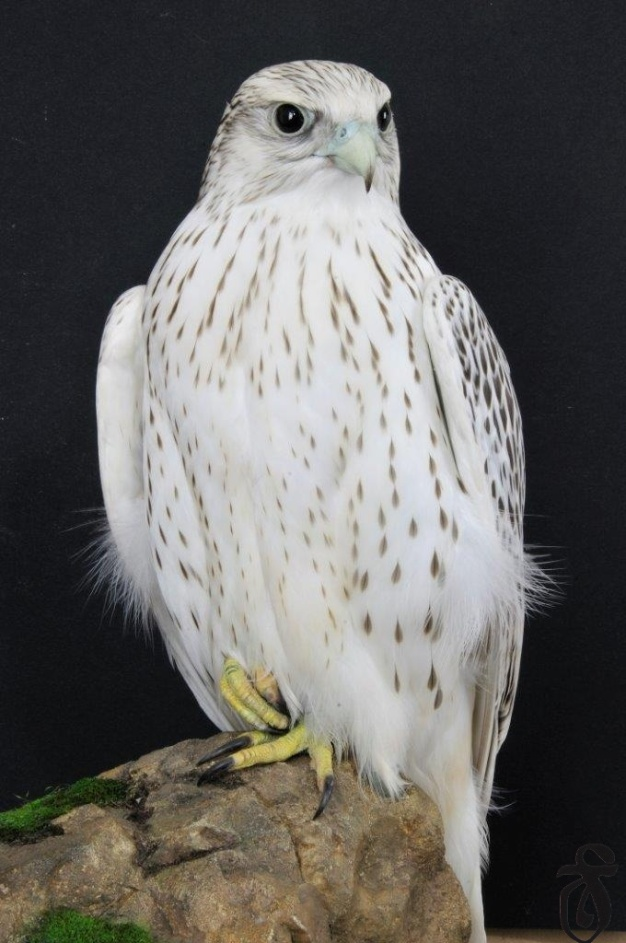 image Rare White Falcons You Have Never Seen Before