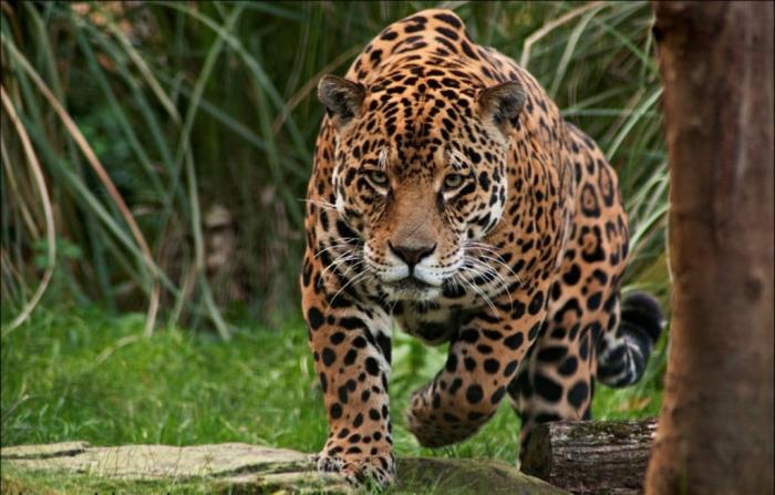 jaguar_by_alannahily-d34ju3t Unbelievable Facts You Don't Know about Anaconda