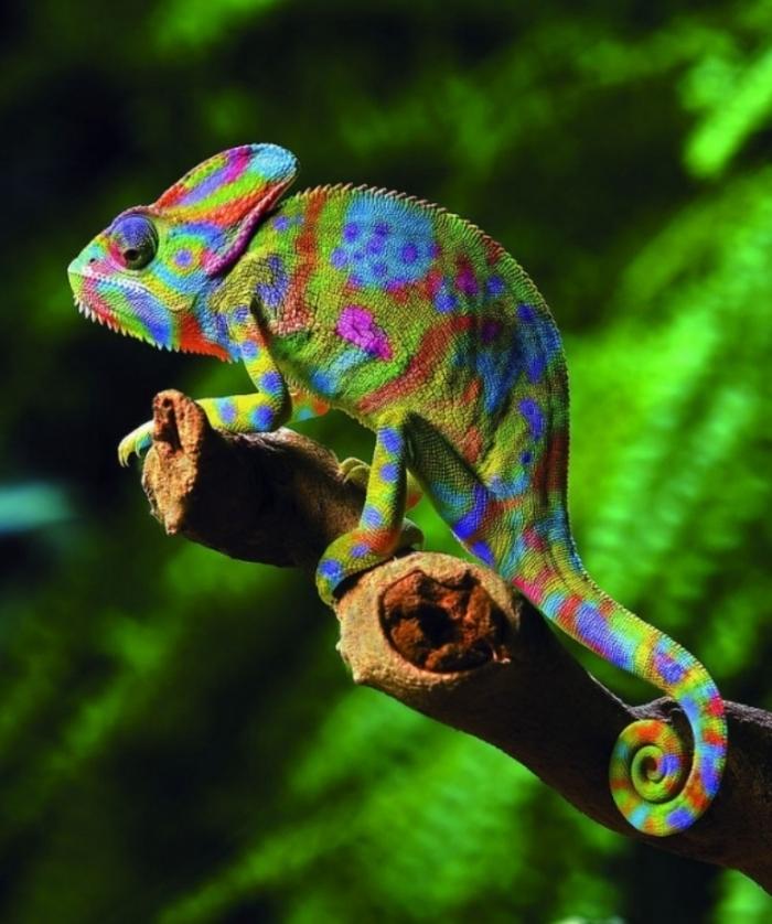 l-chameleons1 How Can the Chameleon Change Its Color?