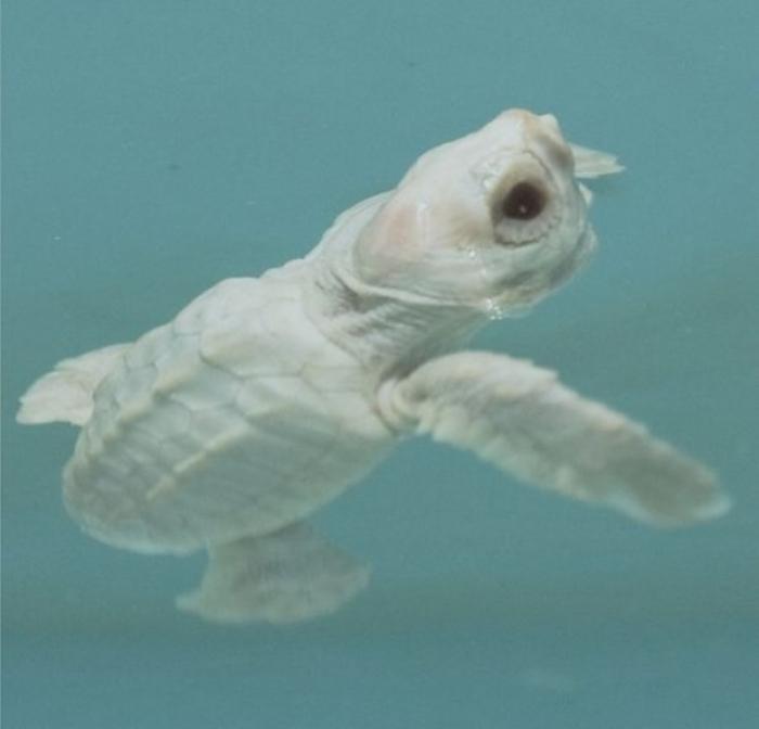 l-white-sea-turtle. Do the White Turtles Really Exist on Earth?