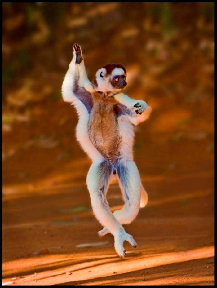 lemur-dance-2 Are Lemurs Ghosts, Monkeys Or Just Strange Creatures?