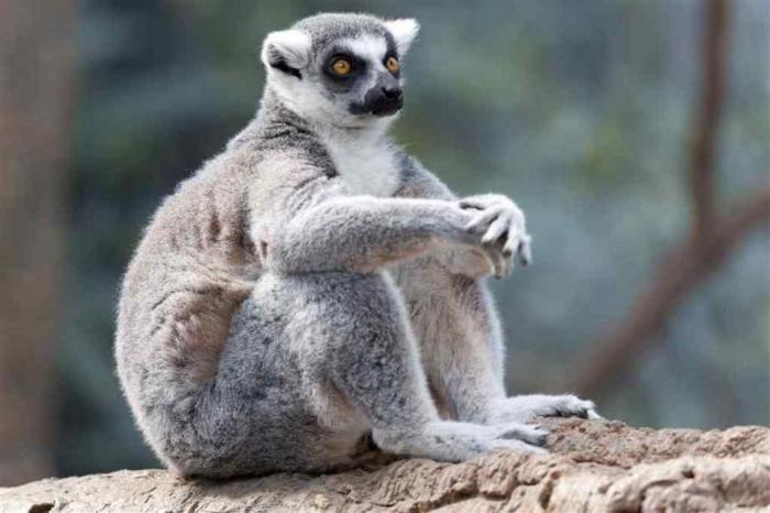 lemur-northrup2 Are Lemurs Ghosts, Monkeys Or Just Strange Creatures?
