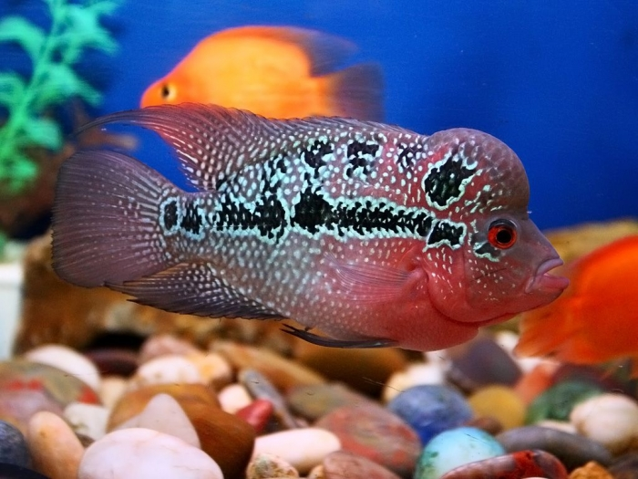 lohan_fish_wallpaper_hd What Are the Kinds of Fish You Can Put in Your Fish Tank?