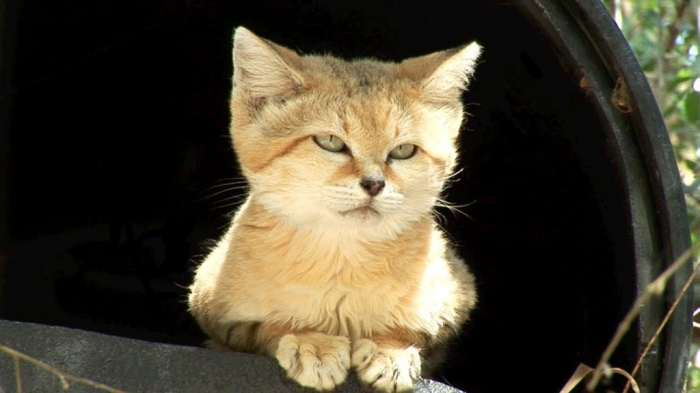 maxresdefault.1 Why Is the Sand Cat the Strongest Cat on Earth?