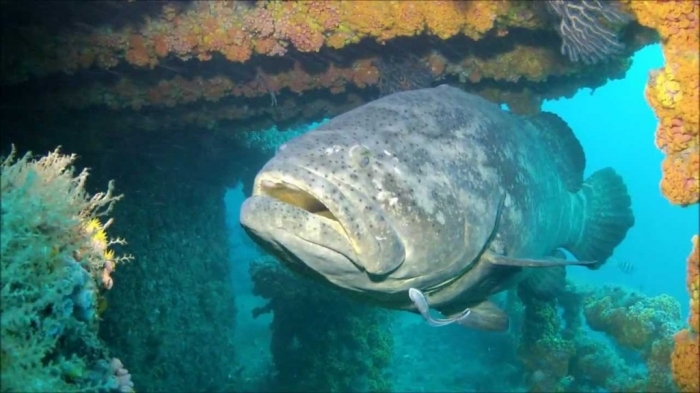 maxresdefault Is The Atlantic Goliath Grouper Endangered?