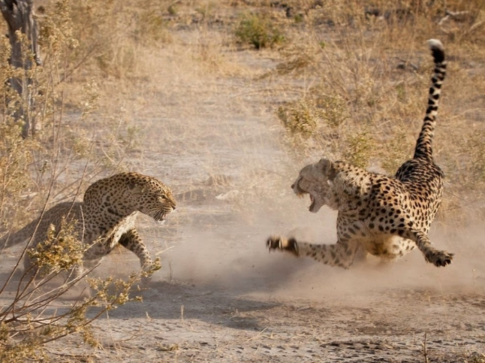 maxresdefault2 Is Cheetah Going to Be Extinct & Disappear from Our Life?