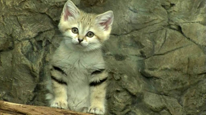 maxresdefault4 Why Is the Sand Cat the Strongest Cat on Earth?