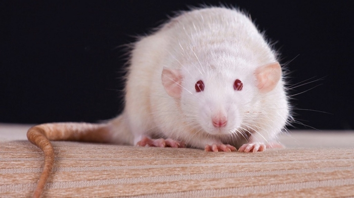 maxresdefault5 Why Are the White Rats Extremely Important?