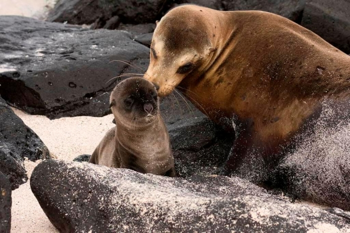 """mom-grooms-baby-sea-lion-sally-weigand Is It """"Sea Lions Or Sea Bears"""" You Have to Decide"""