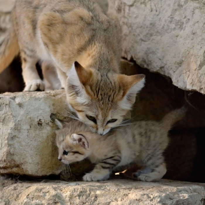 momkitten2 Why Is the Sand Cat the Strongest Cat on Earth?