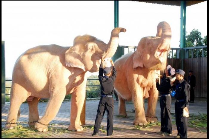 myanmar_burma_elephants_2011_11_24 The White Elephant Is Not a Legend