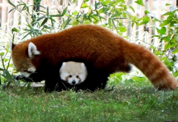 o-BABY-RED-PANDA-SHERMAN-DETROIT-facebook2 Is the Red Panda a Cat, Bear or Raccoon?