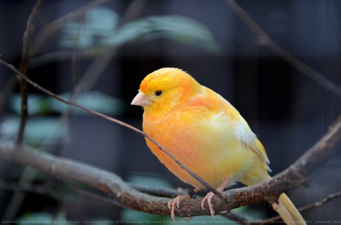"orange_by_kusilinda-d6865mt2 "" Canary"" The Bird of Kings, Rich People & Miners"