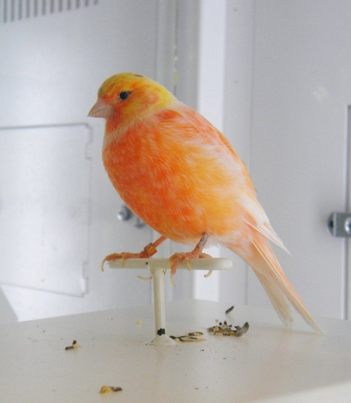 """orange_colored_canary_by_buzzyg-d46tew51 """" Canary"""" The Bird of Kings, Rich People & Miners"""