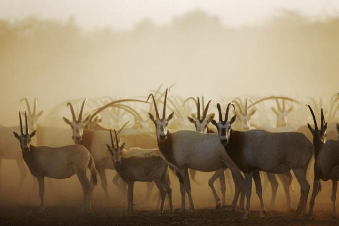 oryx The Arabian Oryx Returns Back to Life