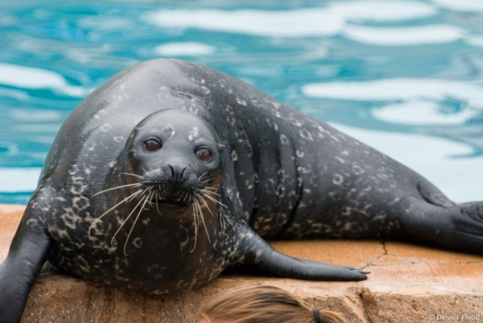 """performing_sea_lion_8147 Is It """"Sea Lions Or Sea Bears"""" You Have to Decide"""
