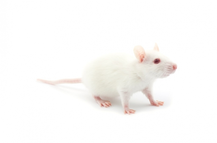 photodune-2721316-white-rat-l1 Why Are the White Rats Extremely Important?