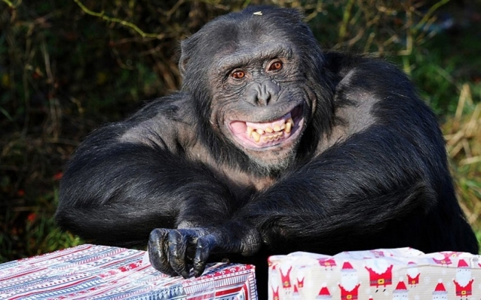 potd-chimp-animals_2768363k What Whipsnade Zoo Leaves Its Animals to Do!