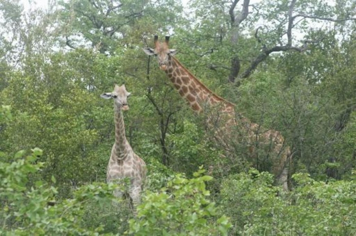 punda-maria-restcamp Rare White Giraffes Spotted in Different Areas