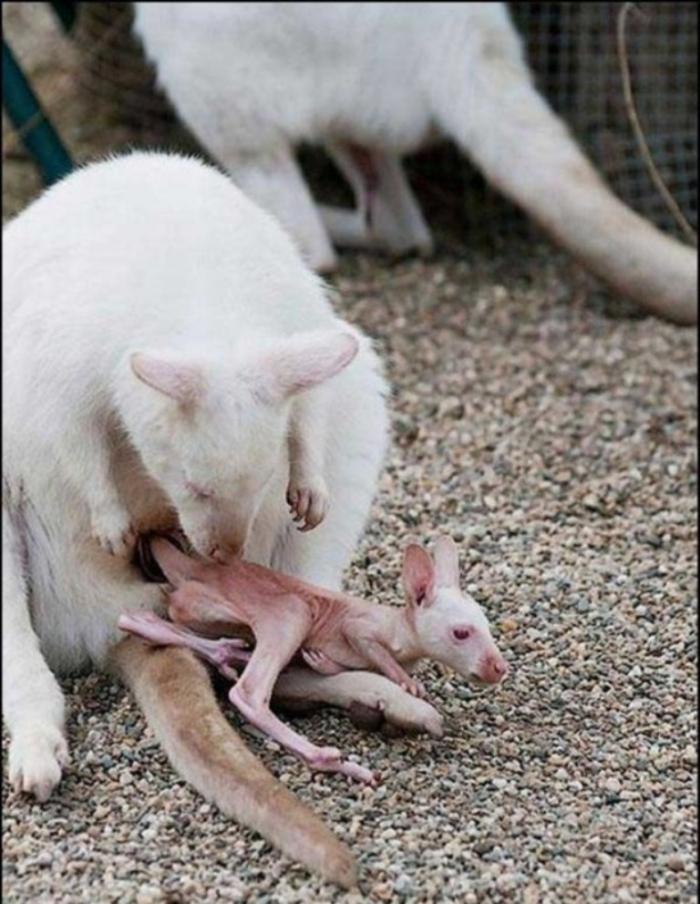 rare_white_kangaroos_07 Have You Ever Seen a White Kangaroo Before?