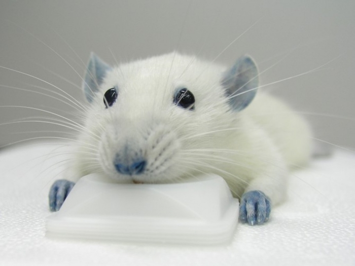 ratafter_553255 Why Are the White Rats Extremely Important?