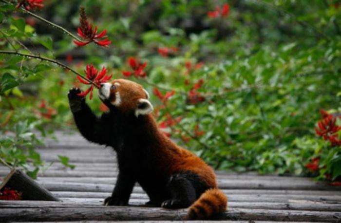 red-panda-5-840x5503 Is the Red Panda a Cat, Bear or Raccoon?