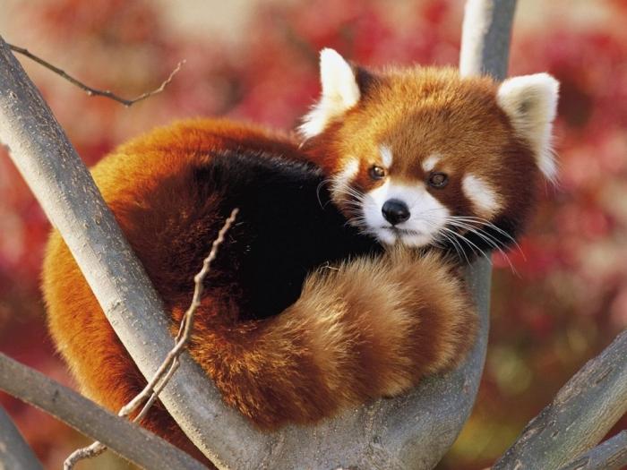 red-panda19-1024x7682 Is the Red Panda a Cat, Bear or Raccoon?