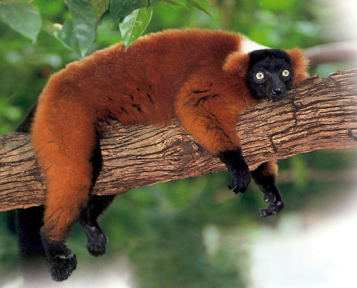 red-ruffed-lemur2 Are Lemurs Ghosts, Monkeys Or Just Strange Creatures?