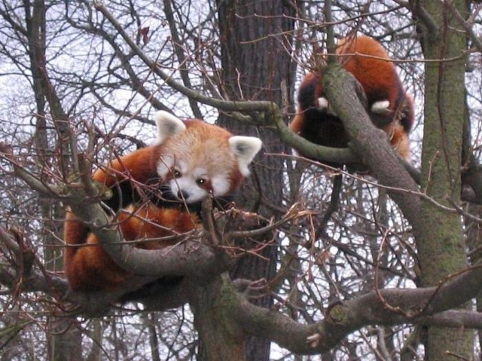 red_panda102 Is the Red Panda a Cat, Bear or Raccoon?